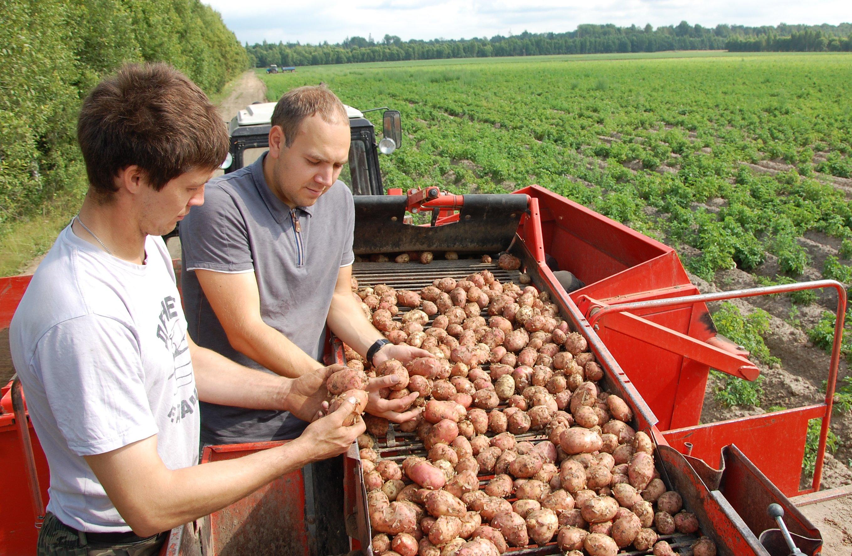 Картофельный бизнес