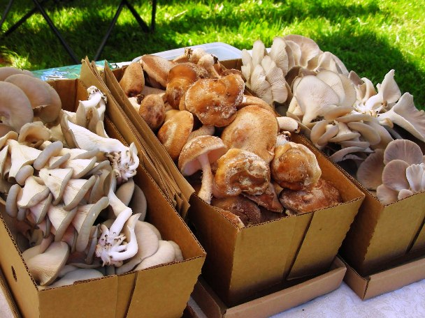 Выращивание грибов вешенок